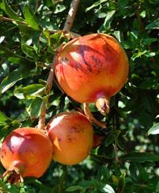 casestudy_pomegranates
