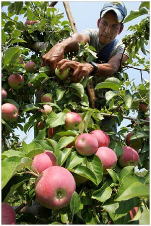 apple-picker