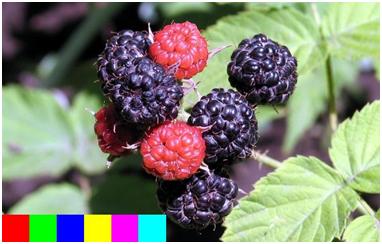 berries-as-seen-by-john