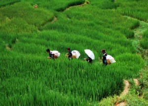 Deep green colors in the rice fields of Vietnam.