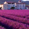 Brilliant purple fields of Lavender in Provence, France.