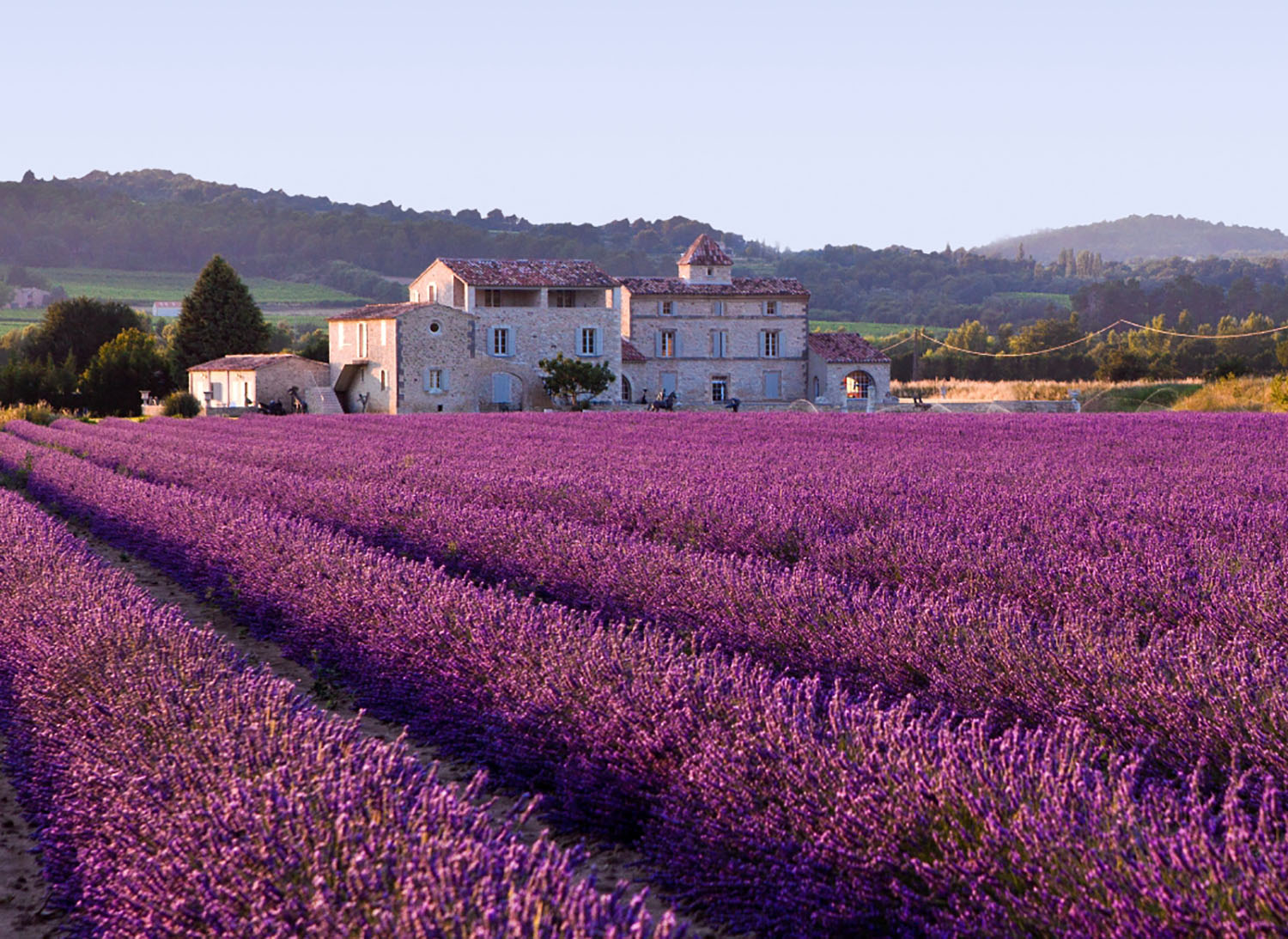 Fields of purple lavender growing in Provence, France