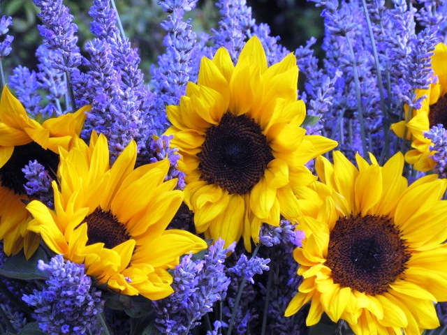 Bouquet With Big Yellow Sunflowers And Purple Lavendar Flowers