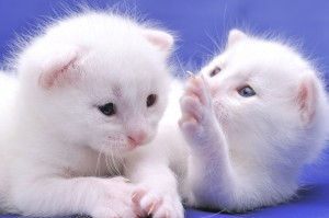 White kittens on blue background.