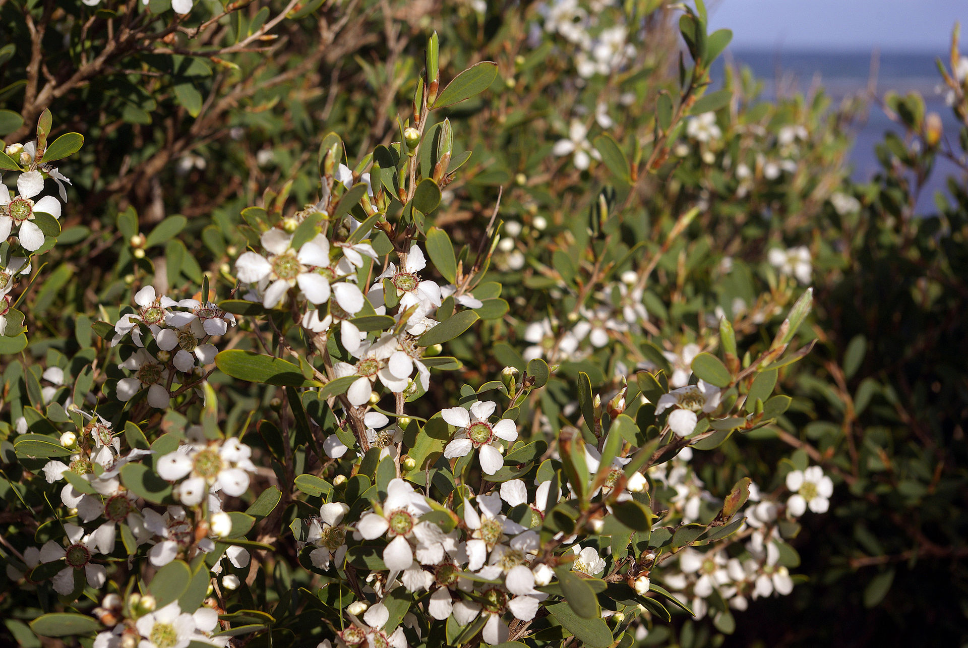 Coastal Tea Tree, Leptospermum Laevigatum.
