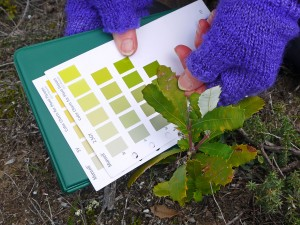 Using Munsell Color Charts for Plant Tissue to record the color of young Banksia tree leaves.
