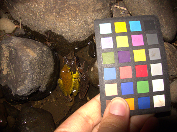Showing color changes during mating in amphibians using a colorchecker chart