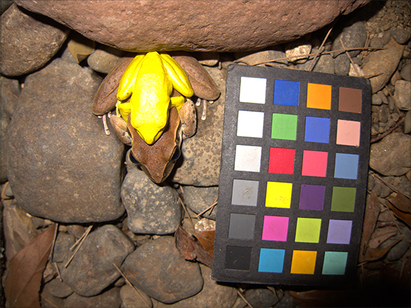 Two frogs mating next to a ColorChecker chart to show how their skin color changes