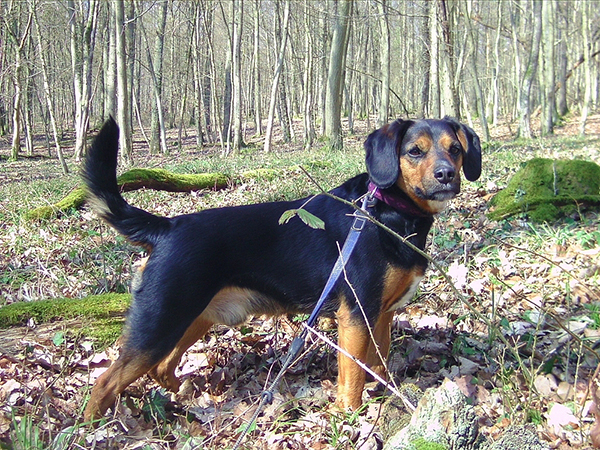 A beagle mix named Bilbo hanging in the woods